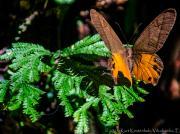 07 Butterfly, Bombuscaro, PN Podocarpus