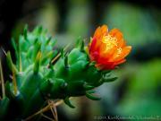 04 Cactus flower