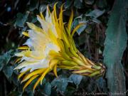 Flor de Pitajaia