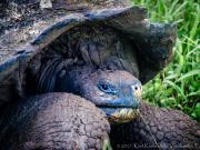 Tortugas, El Chato Ranch, Santa Cruz, Galapagos