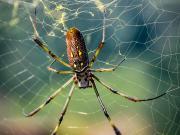 Common spider