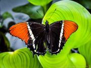 Butterfly Siproeta Epaphus