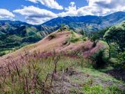 Flowering grass above San José, Vilcabamba