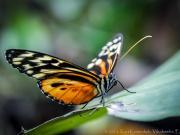 07 Butterfly Heliconius Ismenius