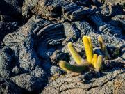 Lava Kaktus, Espinosa Point, Fernandina Island, Galapagos