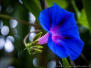 04 Flower of Vilcabamba