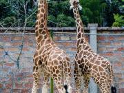 Giraffas, Zoologico Loja
