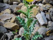 17 Rock-loving flower