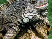 Iguanas en el Parque Seminario, Guayaquil