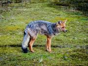 Lobo de Paramo