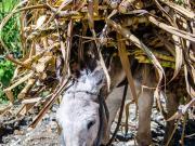 Sugar cane transport-Donkey