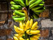 Ripening Bananas (Maduros)