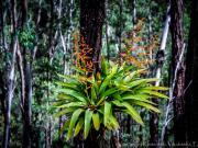 Flowering Bromelia