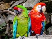 Colorful Ara couple, (Ara macao)
