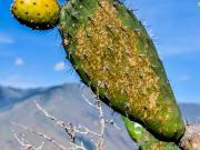 06 Cactus fruits