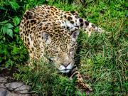 Jaguar, Zoo Baños