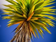 13 Branch of a Yuca plant