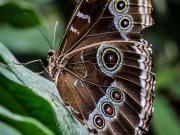 Mariposa, Morpho deidamia