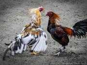 15 Cock fighting