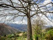 09 Ceibo-tree near Amala