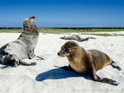 Sea Lions, Mosquera Islet, Galapagos