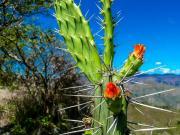 06 Flowering Cactus