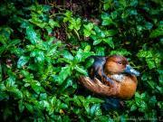 Hiding Duck