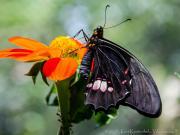 Buttrfly Heliconius Melpomene