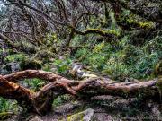 Polylepsis forest, Parque Nacional Cajas