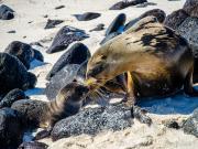 Sea Lions, Mosquera Islet, Galapagos I