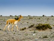 Vicuñas, Chimborazo Forest Reserve I