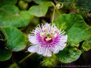 Flower -Passiflora-
