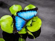 Butterfly Morpho Elenor