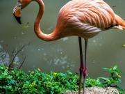 Flamingo, parque Histórico, Guayaquil