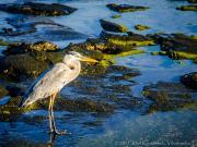 Heron, Egas Port, Santiago Island, Galapagos