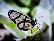 Butterfly Metona Grandiosa