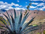 15 Flowering cactus on the Tumianuma-trail