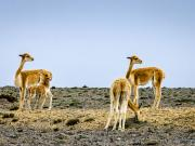 Vicuñas, Chimborazo Forest Reserve