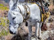 13 Burro on the Tumianuma-trail