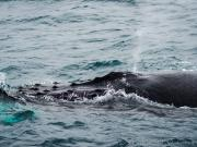 Whale watching trip, Puerto Lopez August I