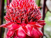 Flower Etlingera elatior, (Fackel-Ingwer)