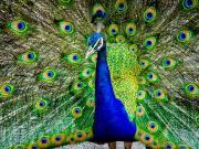 Peacock in full beauty