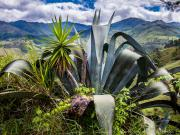 08 Cactus con Yuca plant