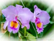 Orchidia Cattleya labiata