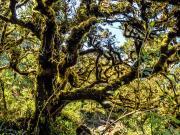 04 Rainforest, Cajanuma PN Podocarpus