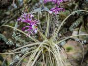 06 Bromelia Flower, Agua de Hierro, Vilcabamba